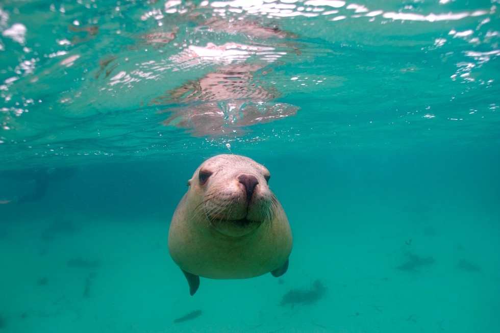 Swim with Sea Lions - Adventure Bay Charters - South Australia