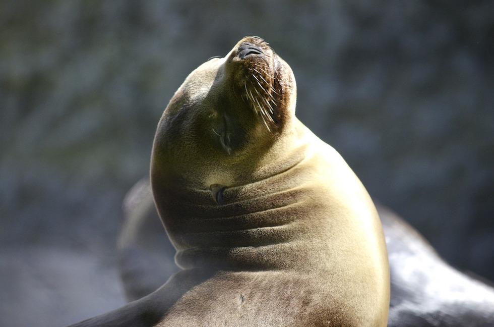Australischer Seelöwe - Weibchen genannt Kuh - Eyre Peninsula - South Australia