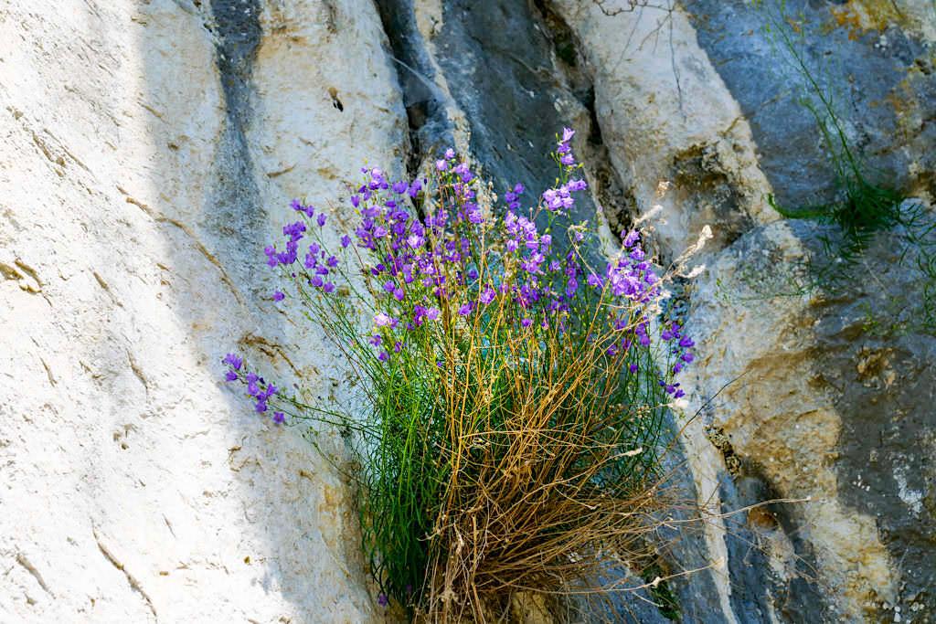 Natur von seiner schönsten Seite: Blumen wachsen auf Felsen - Wanderung zum Kloster Weltenburg & Donaudurchbruch - Bayern