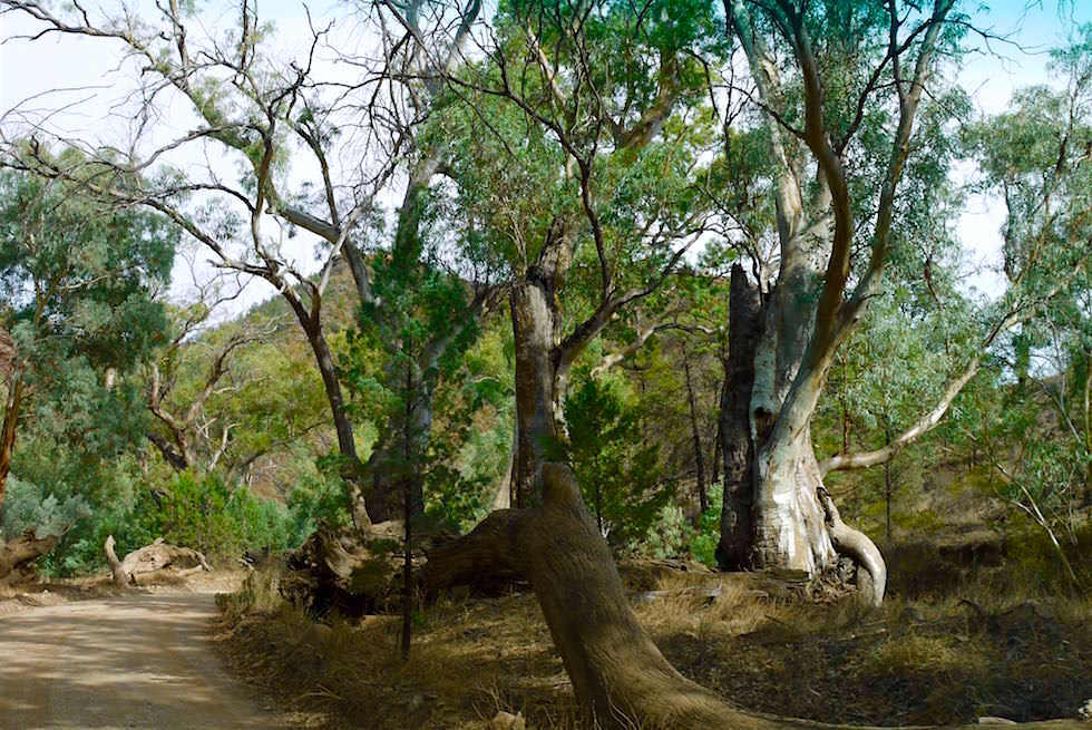 Red River Gum Tree - Bunyeroo Gorge - Flinders Ranges - South Australia