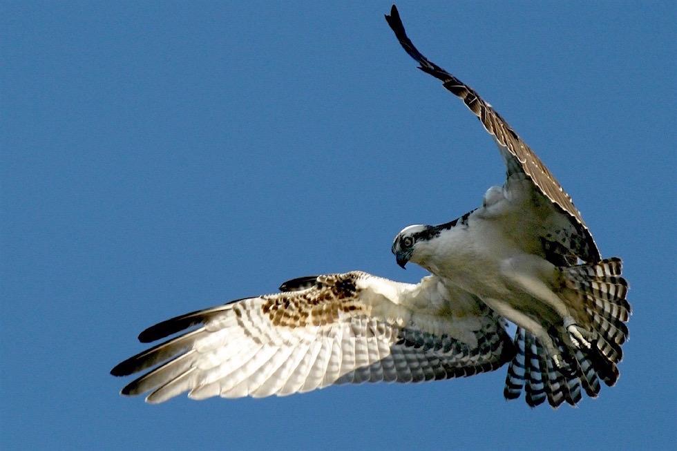 Osprey - Fischadler - Port Lincoln - South Australia