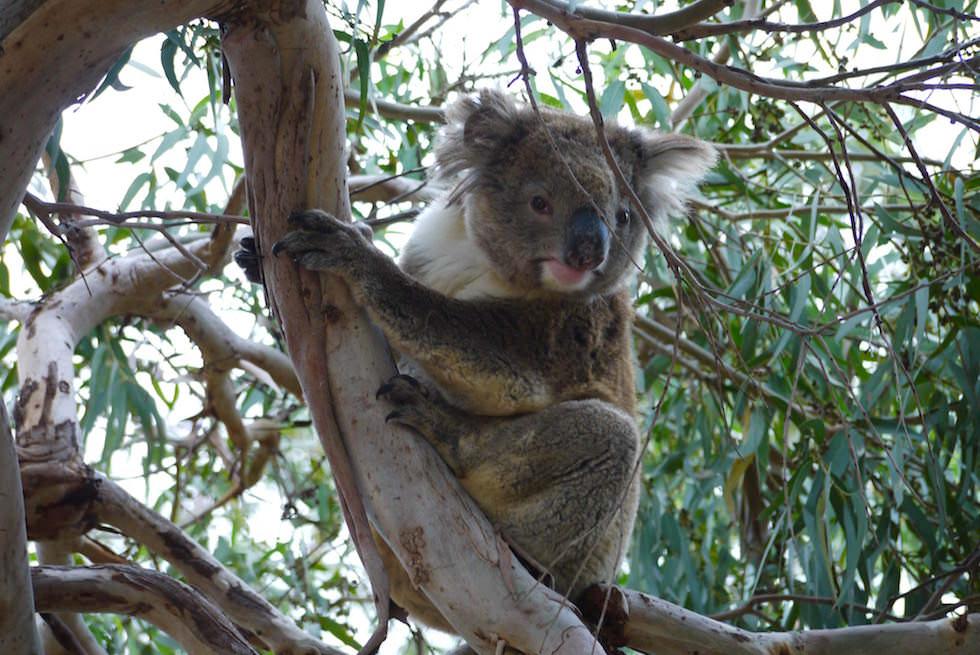 Koala 5 - Mikkira Station im Süden Südaustraliens - South Australia