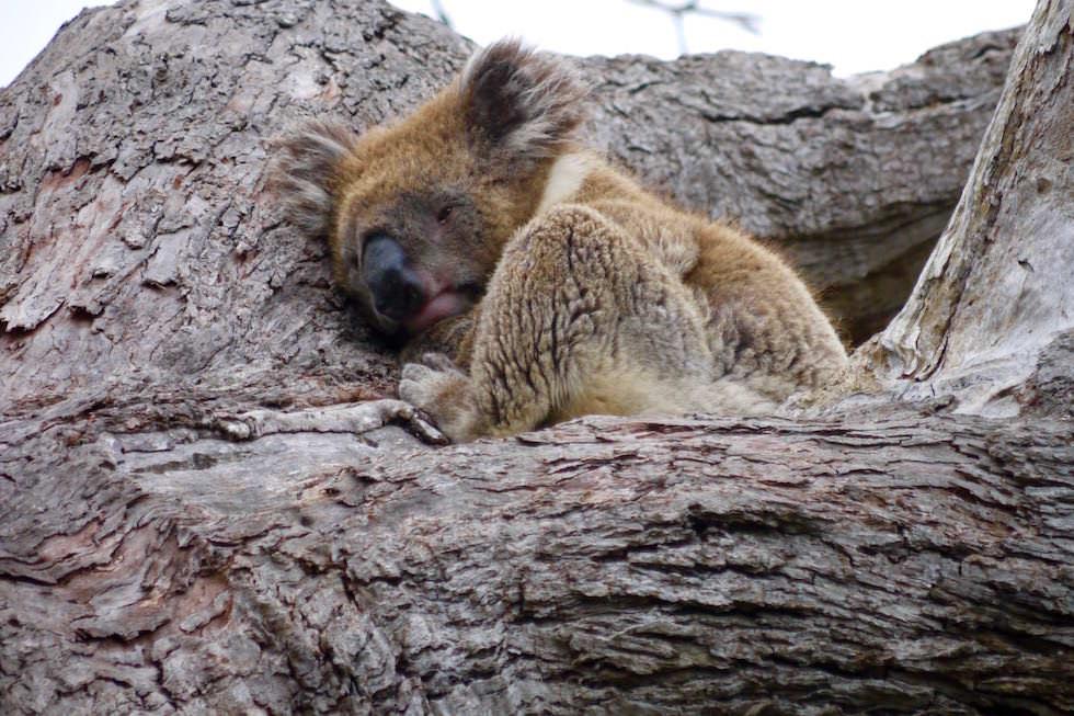 Koala Baby - Mikkira Station im Süden der Eyre Peninsula - South Australia
