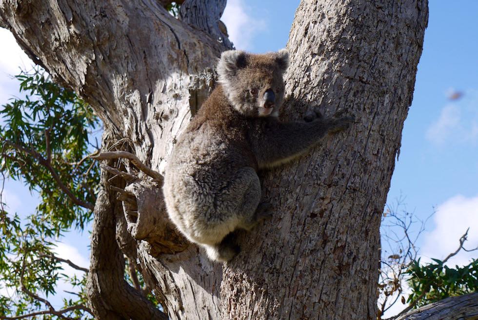 Koala 2 - Mikkira Station im Süden der Eyre Peninsula - South Australia