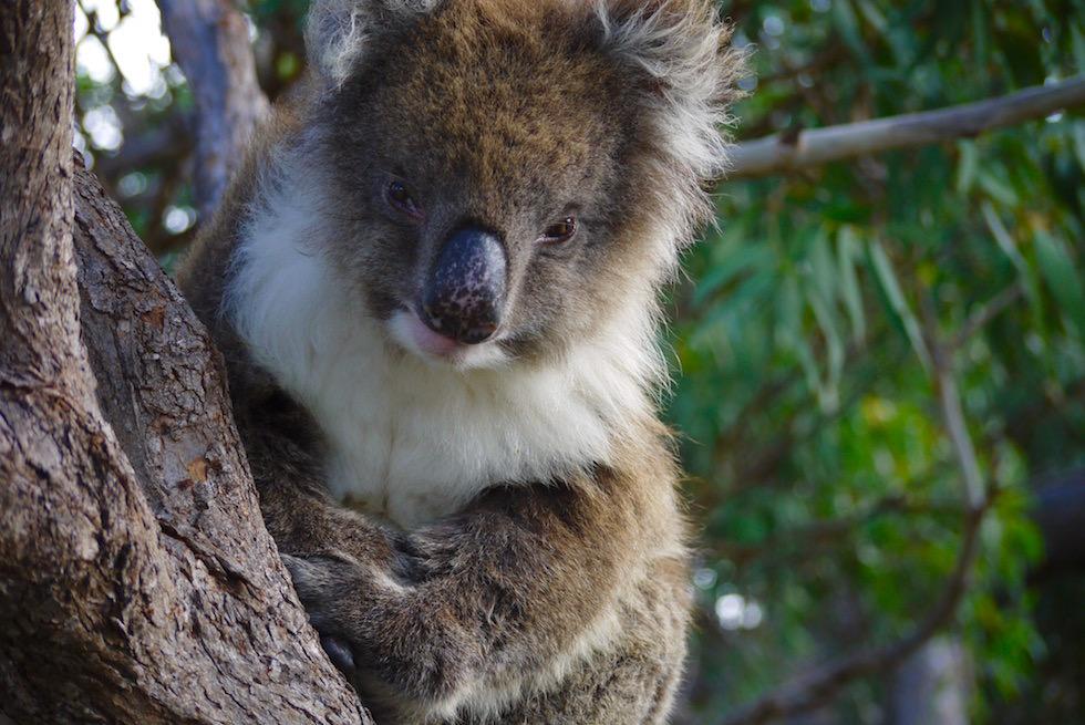 Koala Nase - Mikkira Station auf Eyre Peninsula - South Australia
