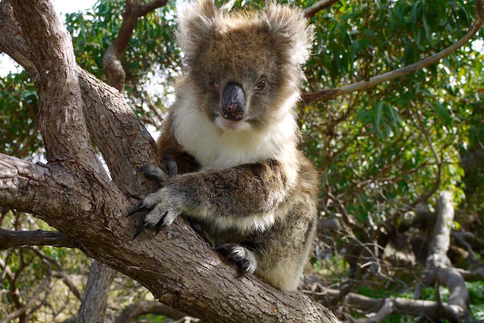 Koala Krallen - Mikkira Station im Süden Südaustraliens - South Australia