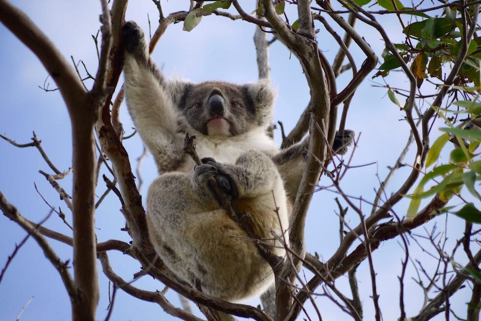 Koala in dem Baumwipfel festhaltend - Mikkira Station - South Australia