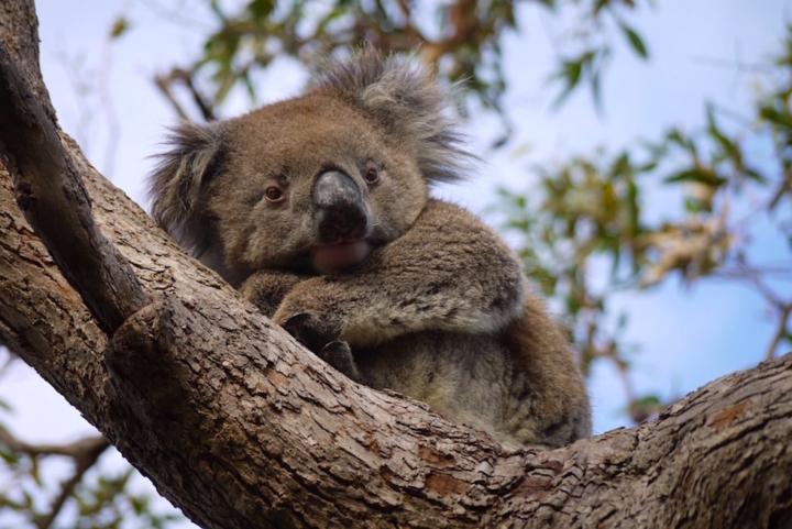 Koala Titel - Mikkira Station im Süden der Eyre Peninsula - South Australia