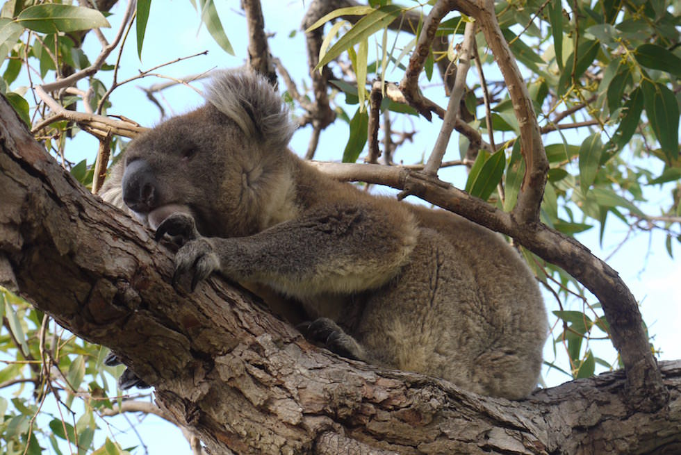Koala 1 - Mikkira Station auf Eyre Peninsula - South Australia