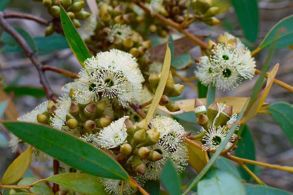 Eukalyptus blühend - Mikkira Station - South Australia