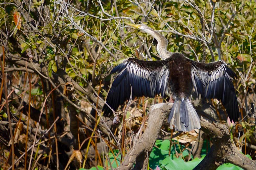 Austrailian Darter oder Schlangenhalsvogel beim Trocknen - Corroboree Billabong - Northern Territory