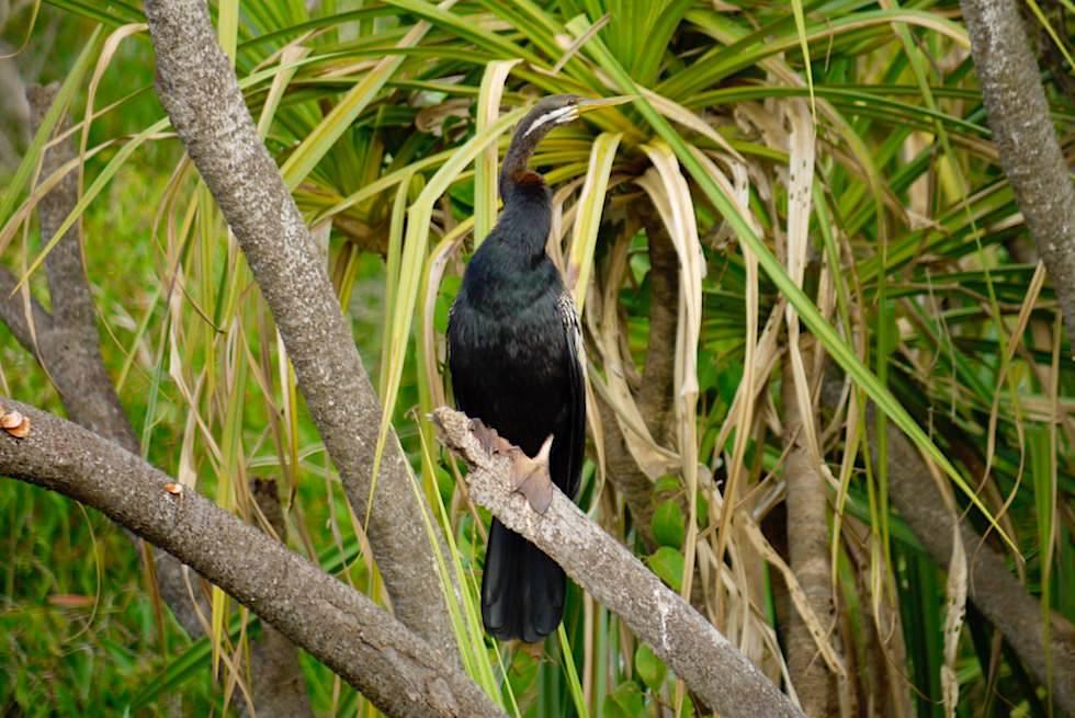 Schlangenhalsvogel - Australian Darter männlich- Corroboree Billabong - Northern Territory