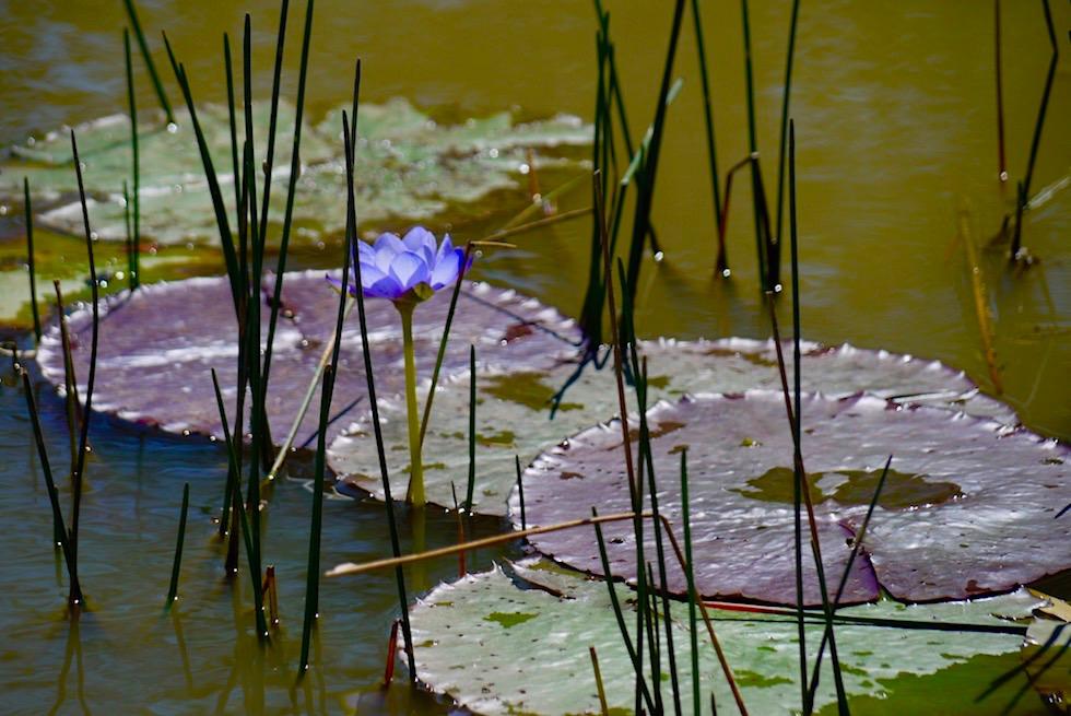 Australische Seerose oder Water Lily - Corroboree Billabong - Northern Territory
