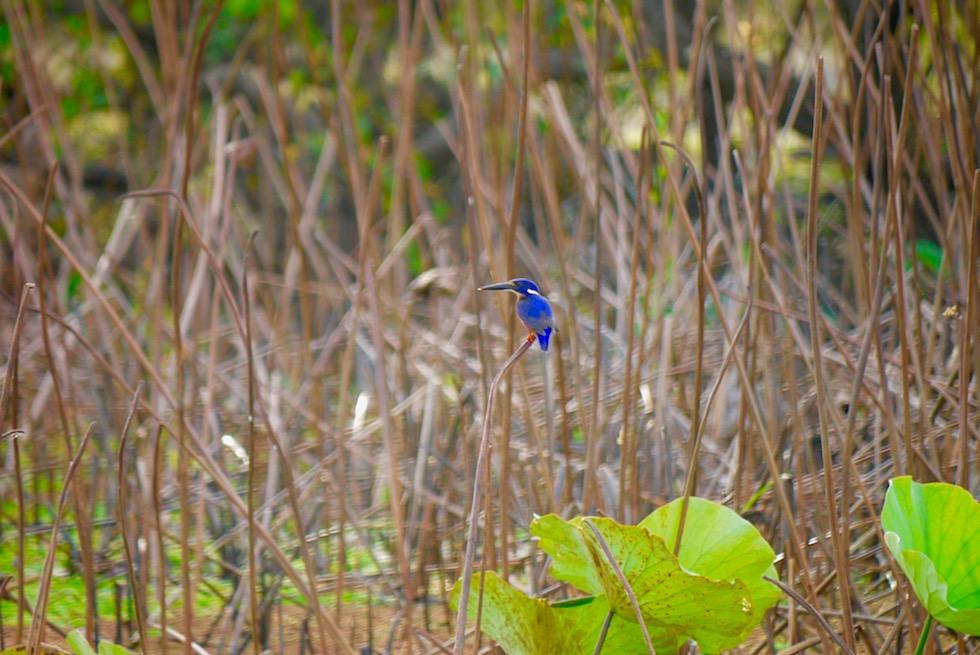 Azure Kingfisher oder Azurzwergfischer - Corroboree Wetland Cruises - Northern Territory