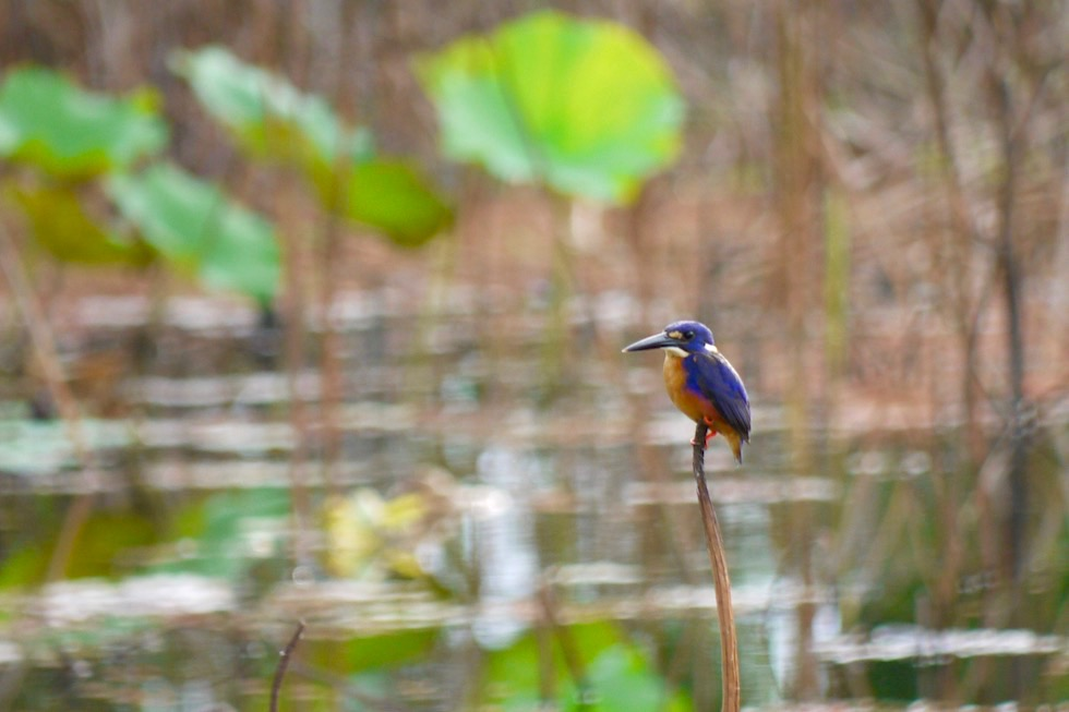 Azure Kingfisher oder Azurfischer - Corroboree Billabong Wetland Cruise - Northern Territory