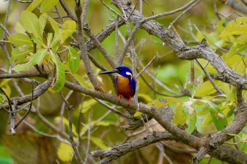 Azure Kingfisher oder Azurfischer - Corroboree Wetland Cruises - Northern Territory