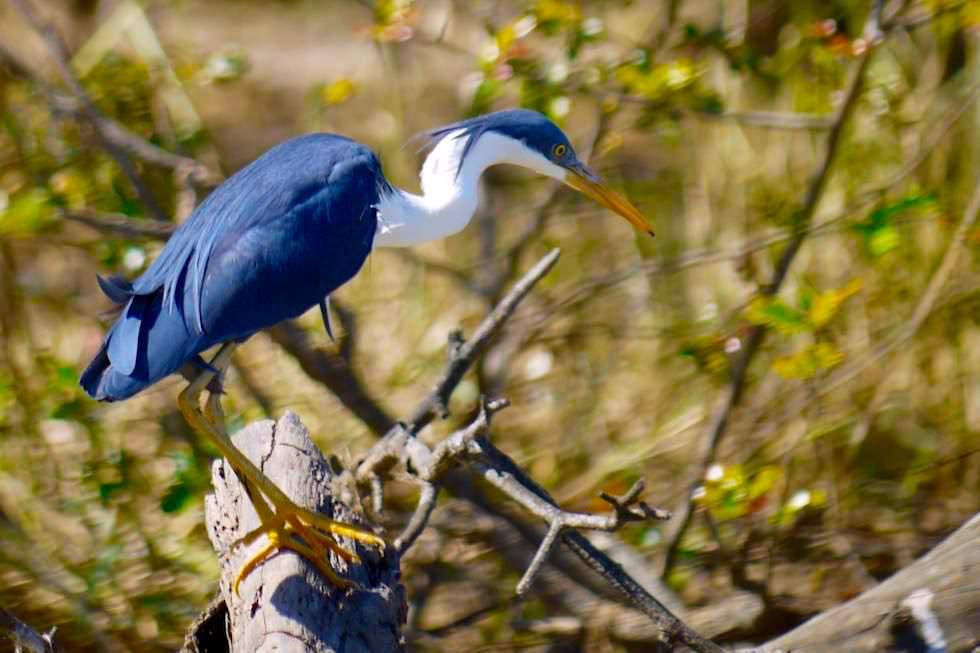 Birdwatching auf dem Corroboree Billabong - Pied Heron oder Elsterreiher - Wetland Cruises - Northern Territory