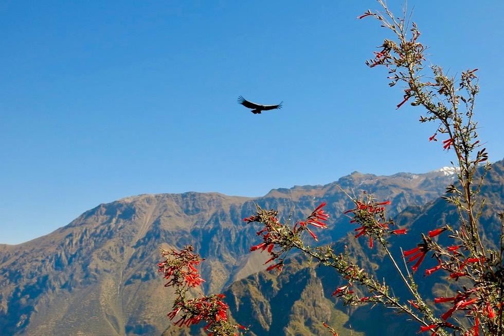 Faszination Colca Canyon - Unendlich tiefe Schluchten & segelnde Anden-Kondore - Chivay - Peru