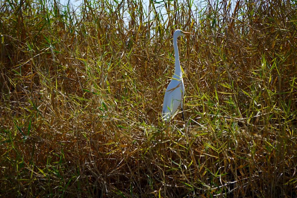 Eastern Great Egret oder Silberreiher - Corroboree Billabong - Northern Territory