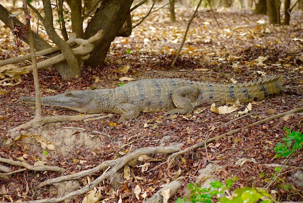 Freshwater Crocodile oder Australien-Krokodil - Corroboree Wetland Cruises - Northern Territory