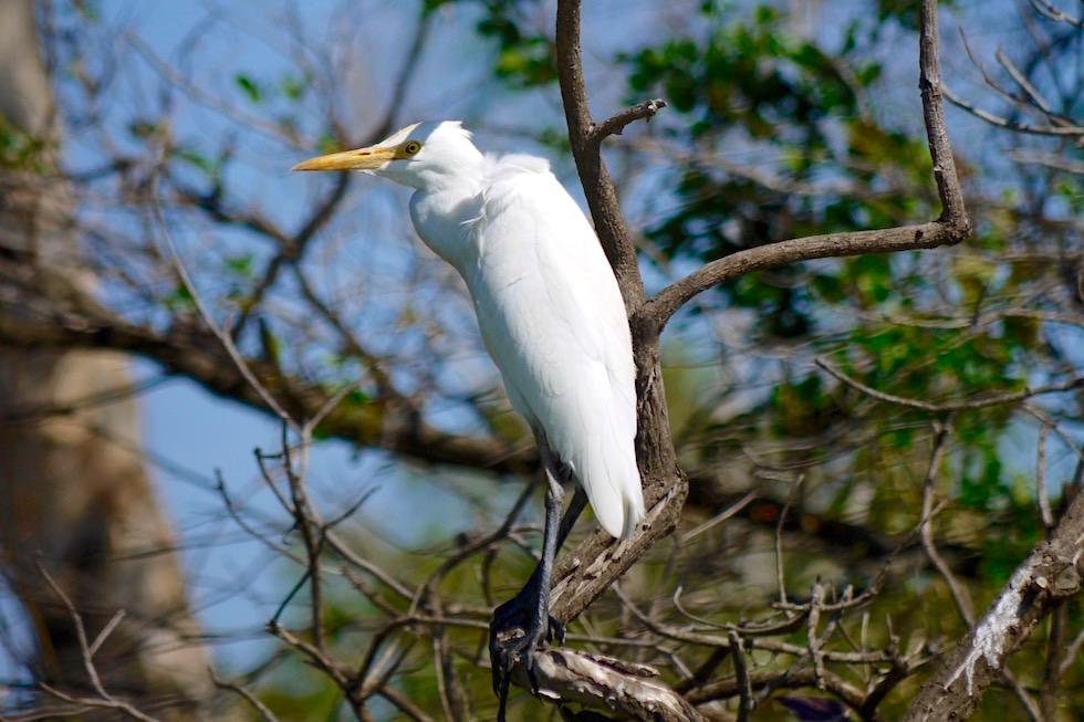 Intermediate Egret oder Silberreiher - Corroboree Billabong - Northern Territory