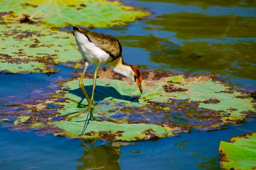 Jarcana, Lily-Trotter, Blatthühnchen - Corroboree Billabong - Northern Territory