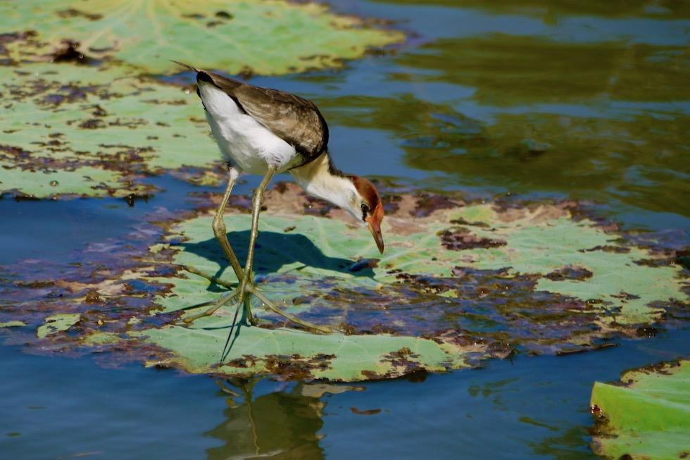 Comb-Crested Jacana oder Blatthühnchen - Corroboree Billabong Wetland Cruises - Northern Territory