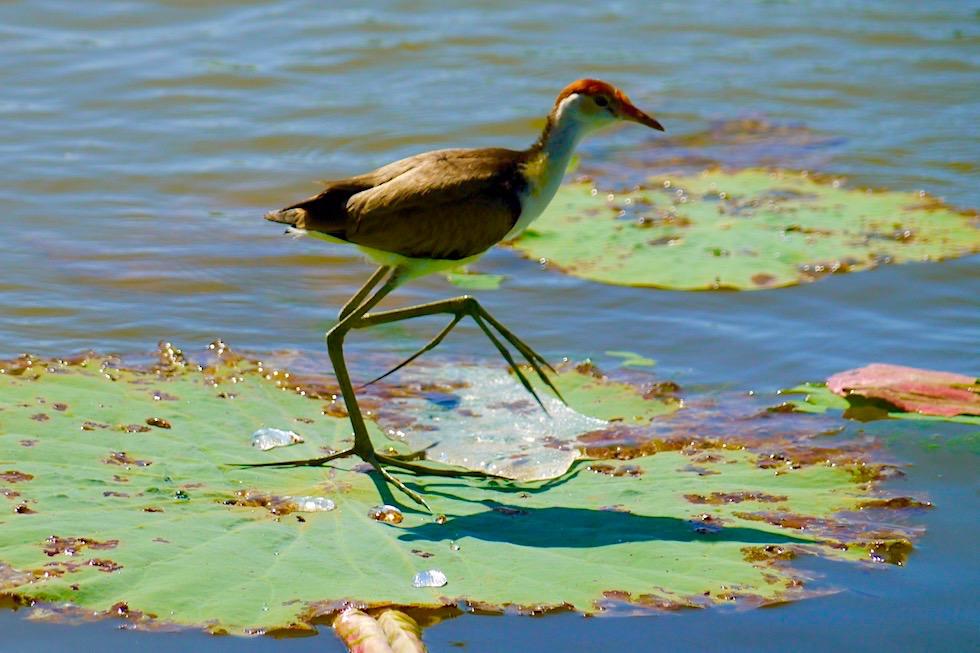 Jacana, Jesusvogel oder Blatthühnchen - Corroboree Billabong - Northern Territory