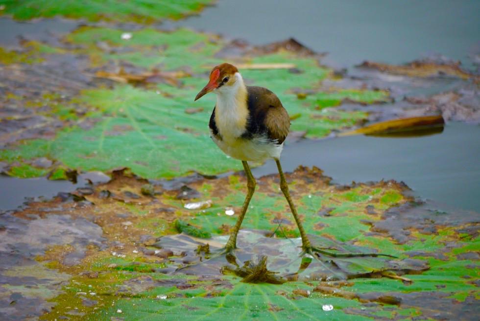 Jacana Lotusbird oder Blatthühnchen - Corroboree Wetland Cruises - Northern Territory