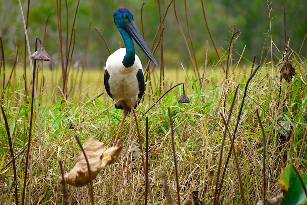 Jaribu - Black-necked Stork oder Riesenstorch - Weiblich - Corroboree Billabong - Northern Territory