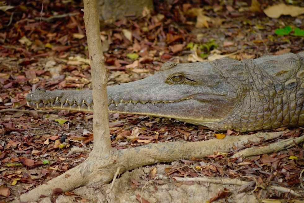 Kopf - Australien Krokodil bzw Süßwasserkrokodil - Corroboree Wetland Cruises - Northern Territory