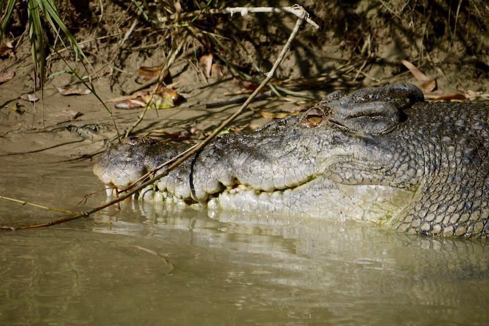 Krokodil Kopf Nahaufnahme - Guluyambi Cruise - Northern Territory