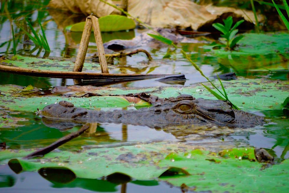 Krokodil zwischen Pflanzenblätter - Corroboree Wetland Cruises - Northern Territory
