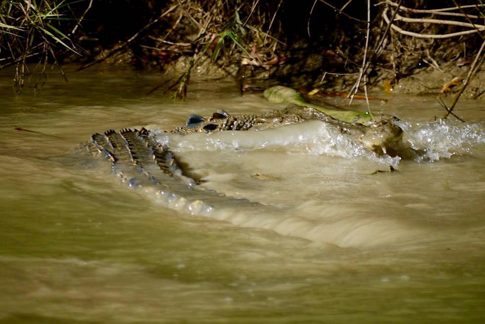 Krokodil frisst Fisch - Guluyambi -Northern Territory