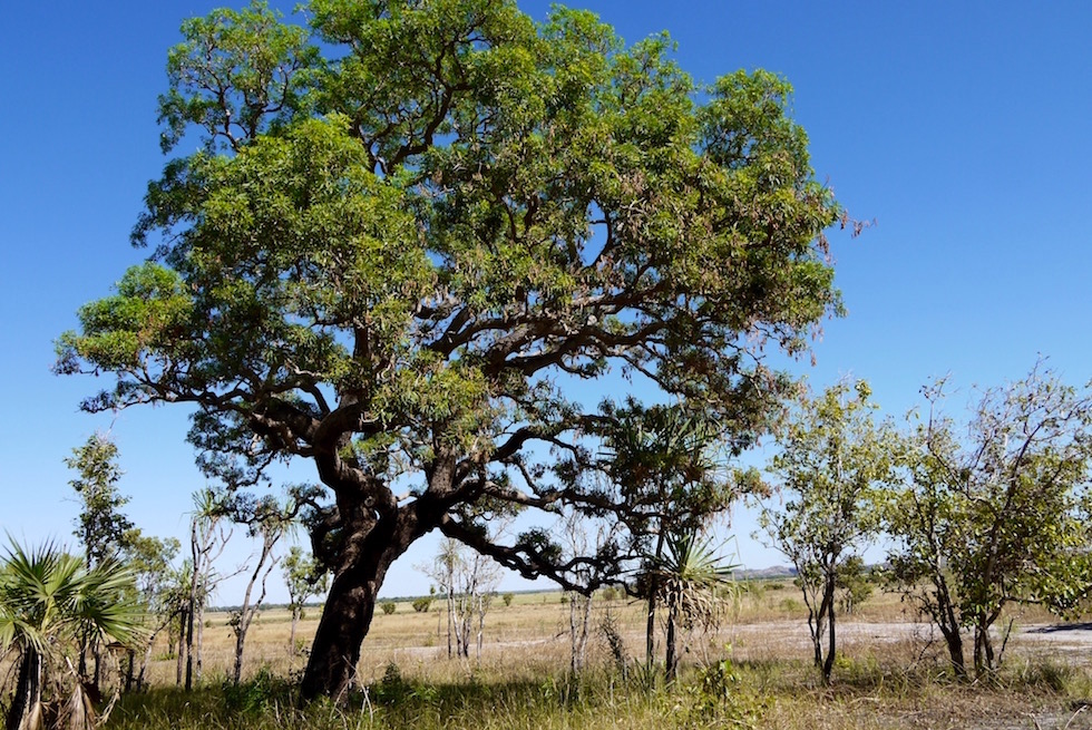 Milkwood-Tree - Arnhem Land - Northern Territory