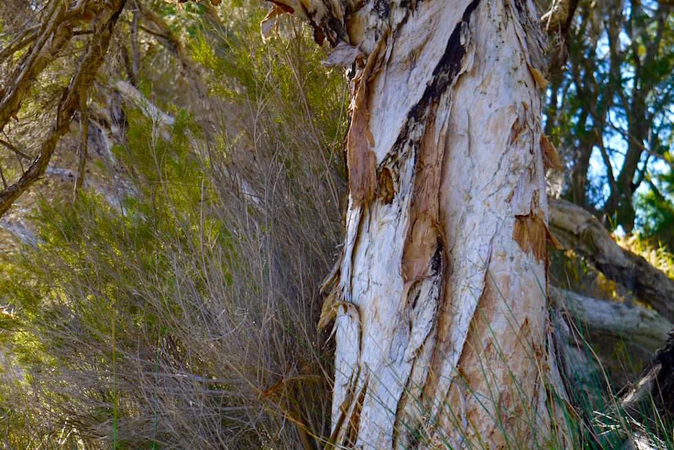Wie Aboriginals den Paperbark Tree nutzen - Margret River - Western Australia