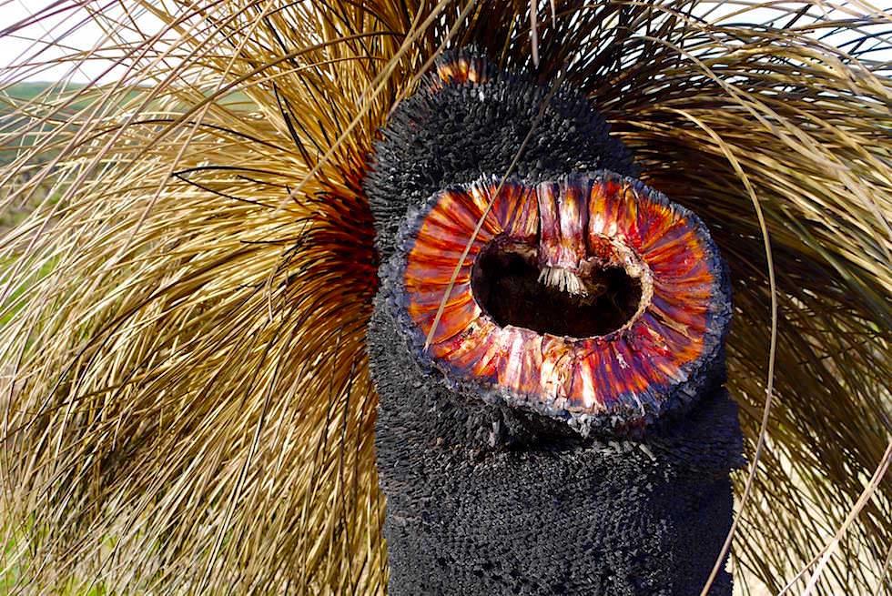 Grass Tree - Wanagarren Nature Reserve - Western Australia