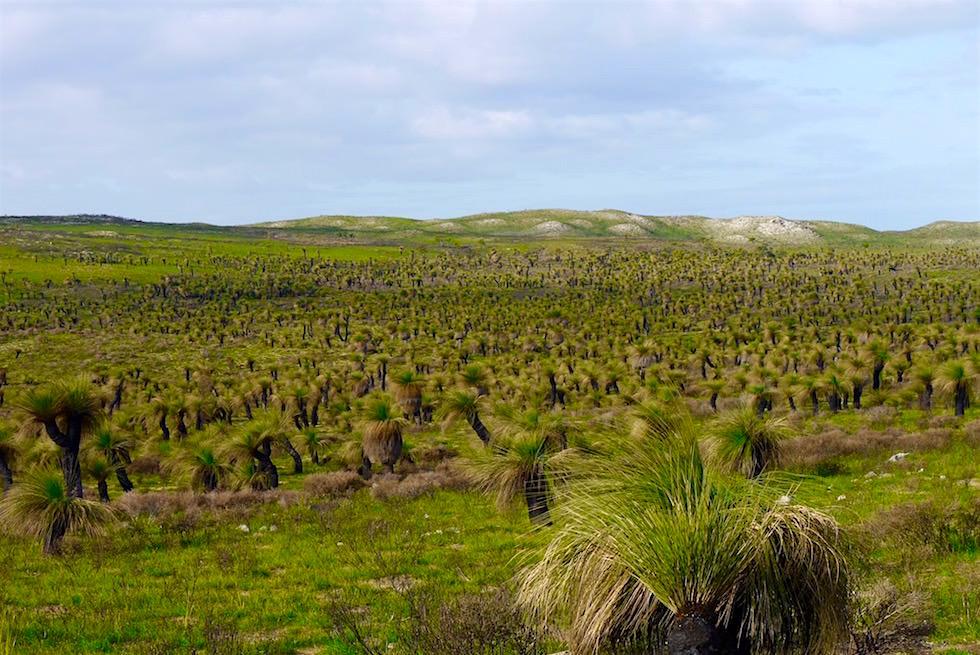 Landschaft von Grasbäumen - Wanagarren Nature Reserve - Western Australia