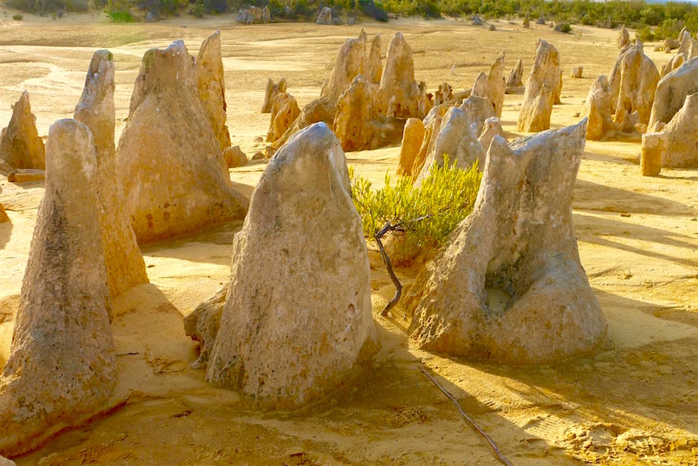 Pinnacles mit Bäumchen - Nambung National Park - Western Australia