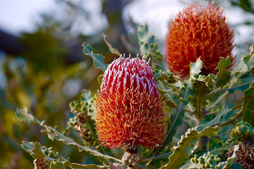 Banksia Blüten & Wildblumen - Lesueur National Park - Western Australia