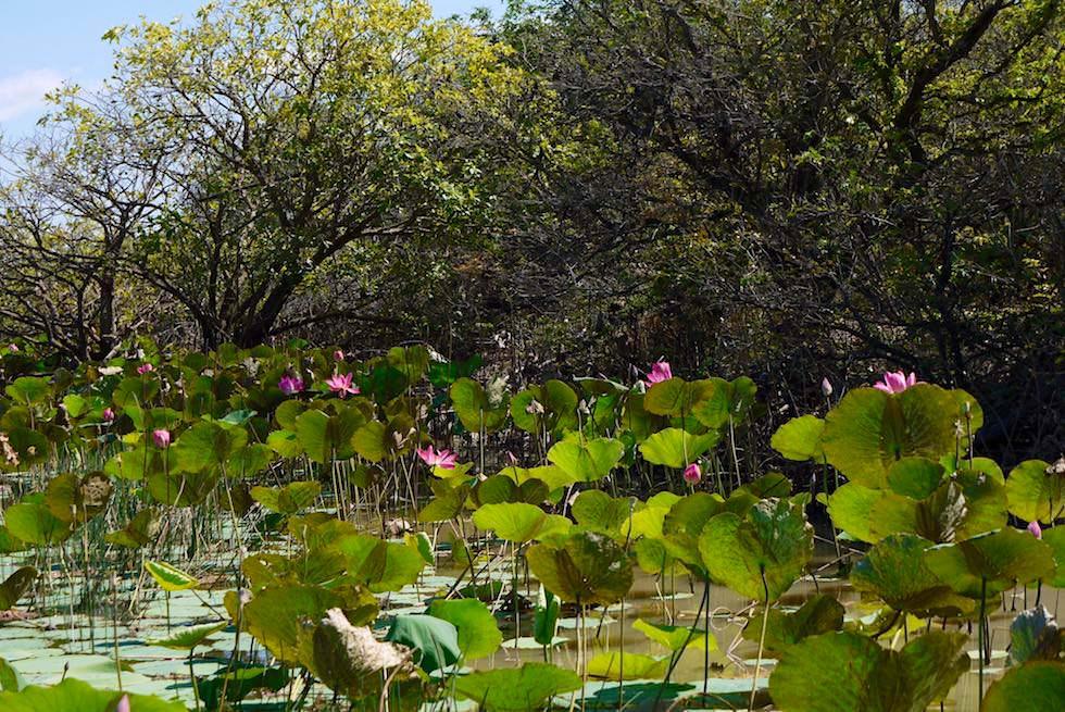 Lotosblüten & Ufer - Corroboree Billabong - Northern Territory