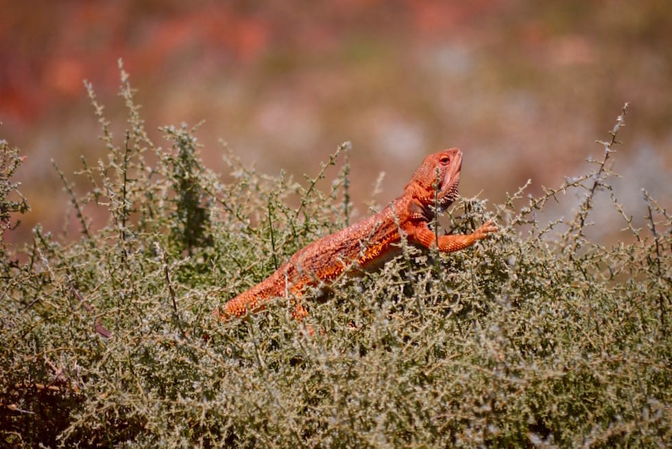 Bartagamen - Bearded Dragon - Lake Gairdner - South Australia