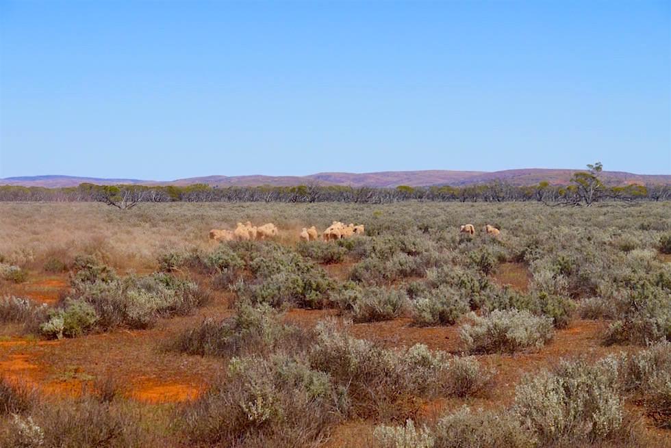 Schafe - Mt Ive Station - Lake Gairdner - South Australia