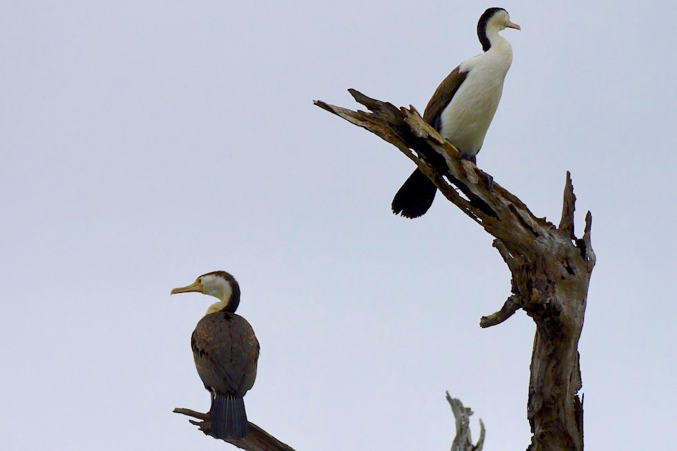 Pied Cormorant - Corroboree Billabong oder Elsterschabe - Northern Territory