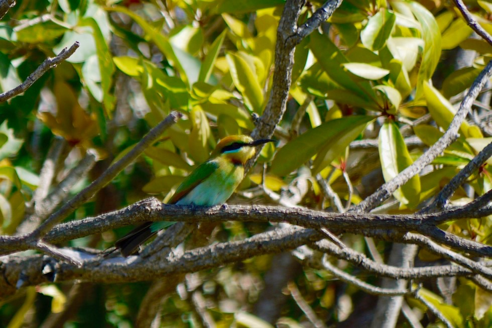 Rainbow Bee Eater oder Regenbogenspint - Corroboree Wetland Cruises - Northern Territory