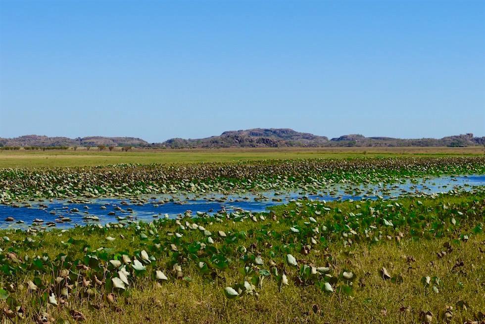 Red Lily Billabong close-up - Arnhem Land - Northern Territory