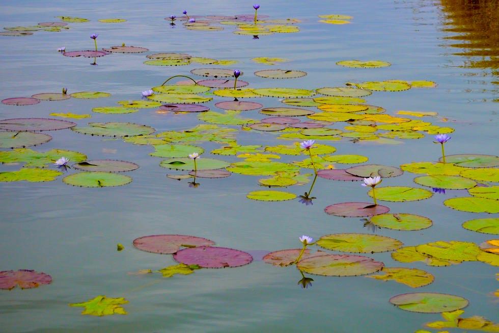 Water Lilies oder Seerosen - Corroboree Billabong - Northern Territory