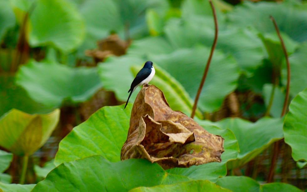 Artenreiche Vogelwelt - Corroboree Billabong - Northern Territory