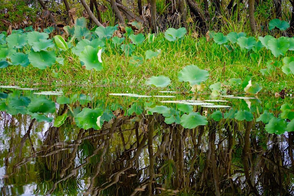 Wasserspiegelung Bäume - Corroboree Billabong - Northern Territory