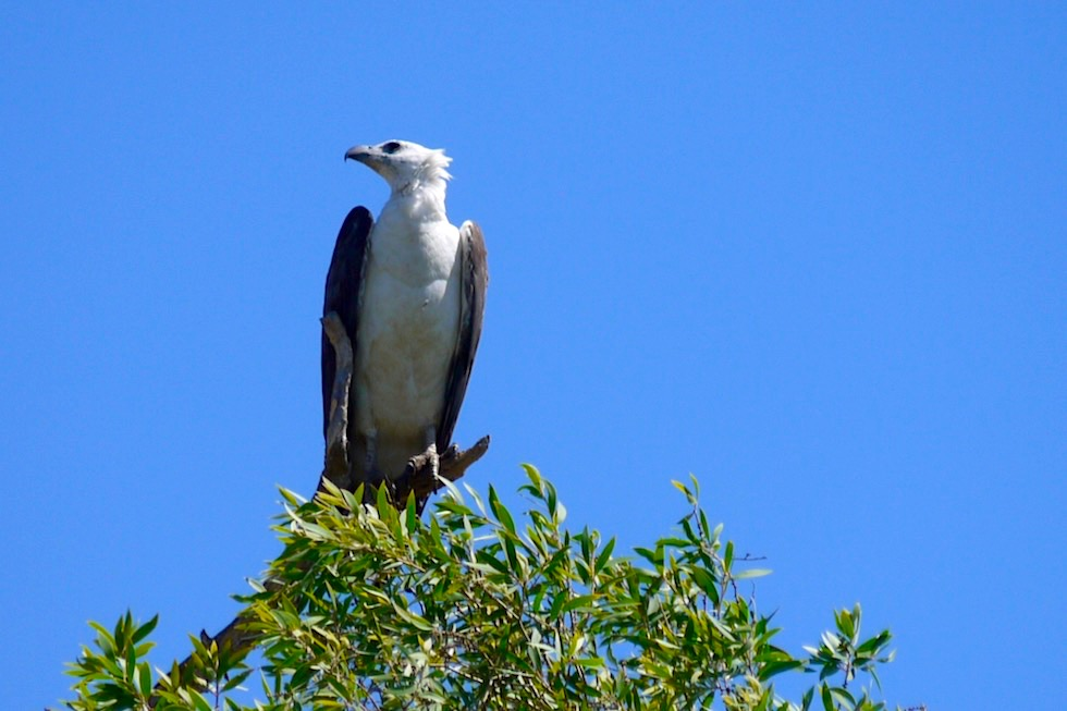 White-Bellied Sea Eagle - Corroboree Billabong - Northern Territory